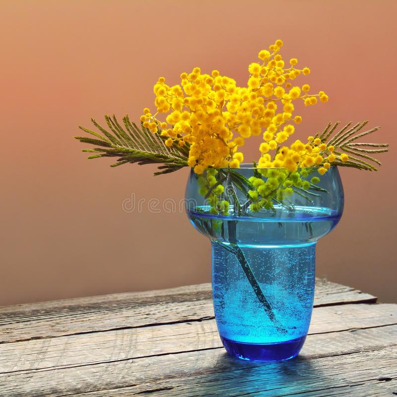 Mimosa flowers in blue glass vase. Mimosa flowers on table in vase stock photo