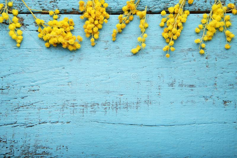 Mimosa flowers. On blue wooden table stock images