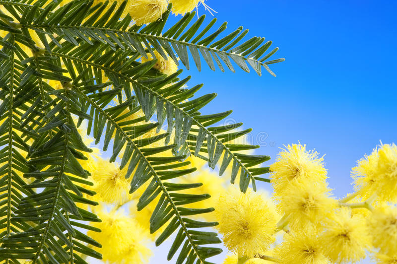 Download Mimosa flowers cloose up stock photo. Image of female - 23575230