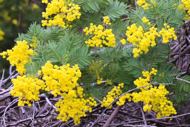 Mimosa flowers. In the south of France stock image