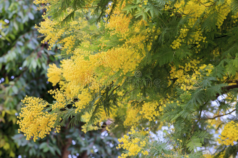 Mimosa flowers. In the south of France stock photography