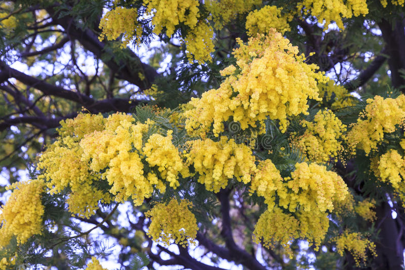 Mimosa flowers. In the south of France royalty free stock image