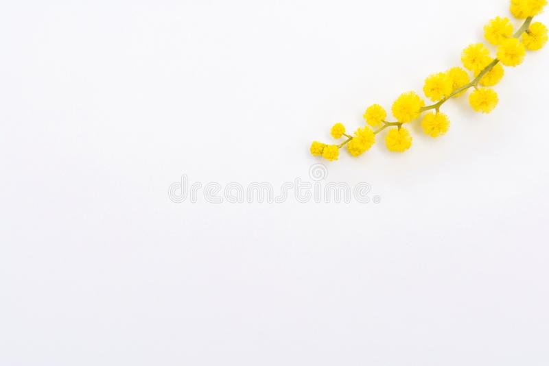 Mimosa flowers on white background royalty free stock image