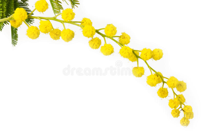 Mimosa. Flowers for women day stock image