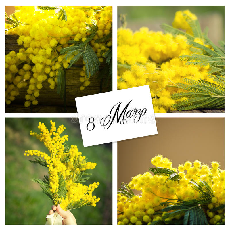 Mimosa. Flowers for women's day stock image