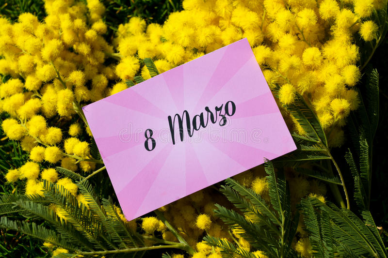Mimosa. Flowers for women's day stock photo