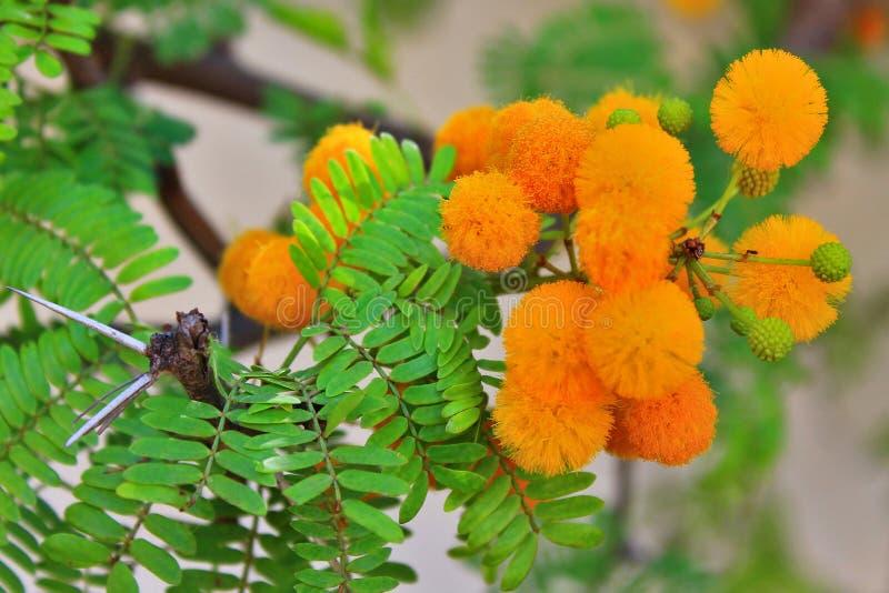 Mimosa i Afrika royaltyfri bild