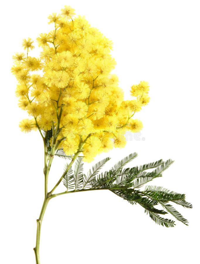 Mimosa isolated on white. Mimosa branch isolated on white stock photo