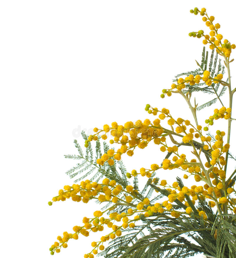 Mimosa. Isolated on white background . very shallow depth of field stock photos