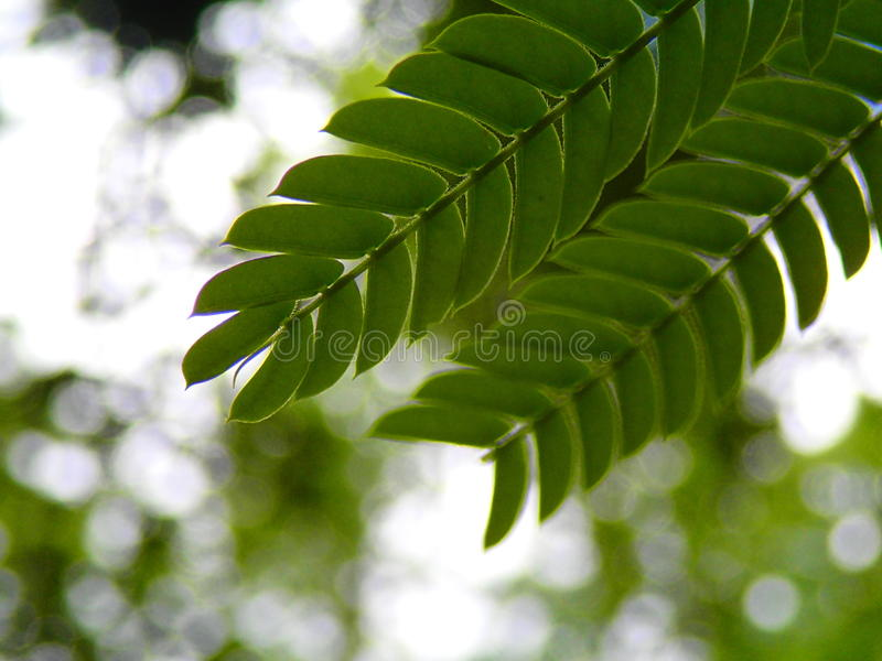 Mimosa Leaves. With bokeh background royalty free stock image