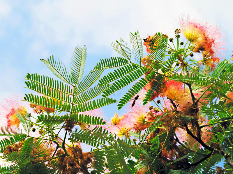 Mimosa. Looking up towards the sky through the flowers and leaves of a Mimosa tree royalty free stock images
