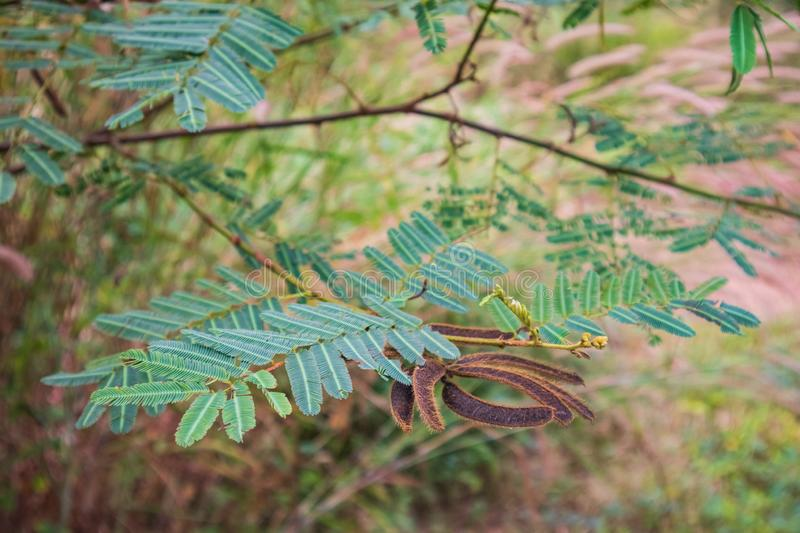 Mimosa pigra. Commonly known as the giant sensitive tree - a species of the genus Mimosa, in the family Fabaceae royalty free stock photos