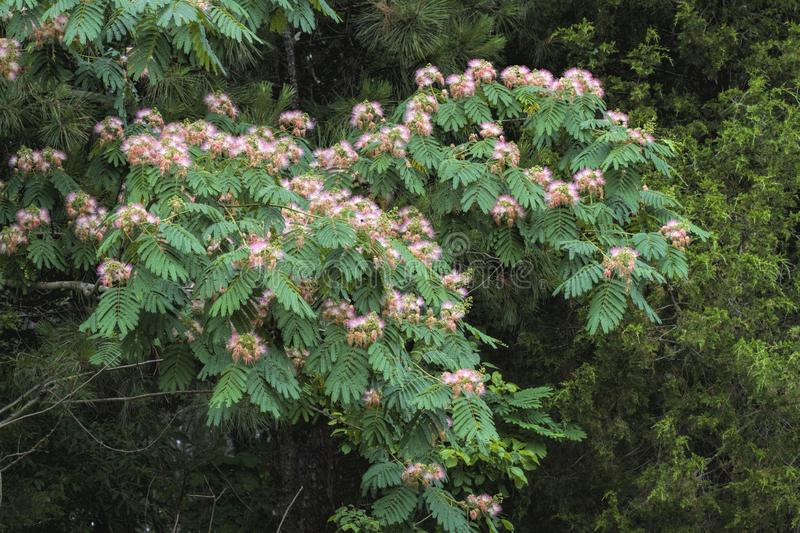 Mimosa Pink Silk Tree - Albizia julibrissin royalty free stock images
