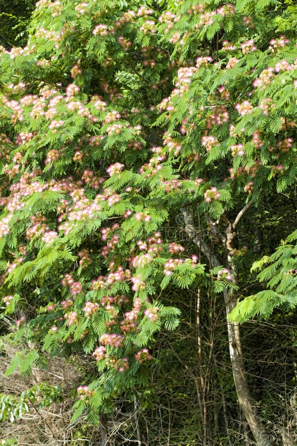 Mimosa Pink Silk Tree - Albizia julibrissin stock photo
