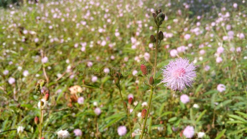 Mimosa Pudica arkivfoton