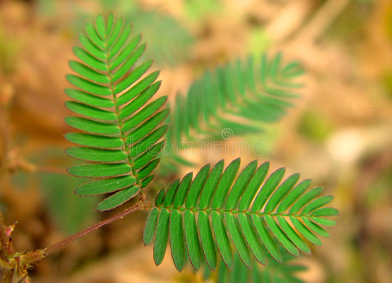 Mimosa Pudica images stock