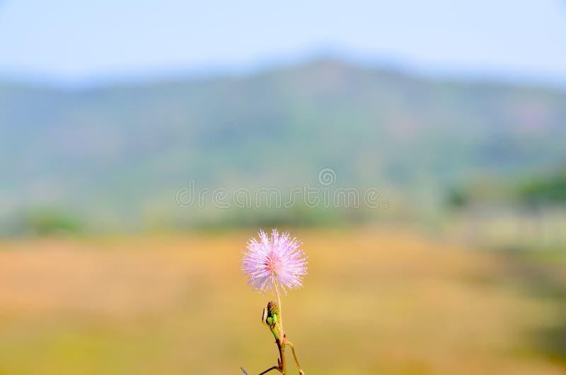 Mimosa pudica fotografie stock libere da diritti