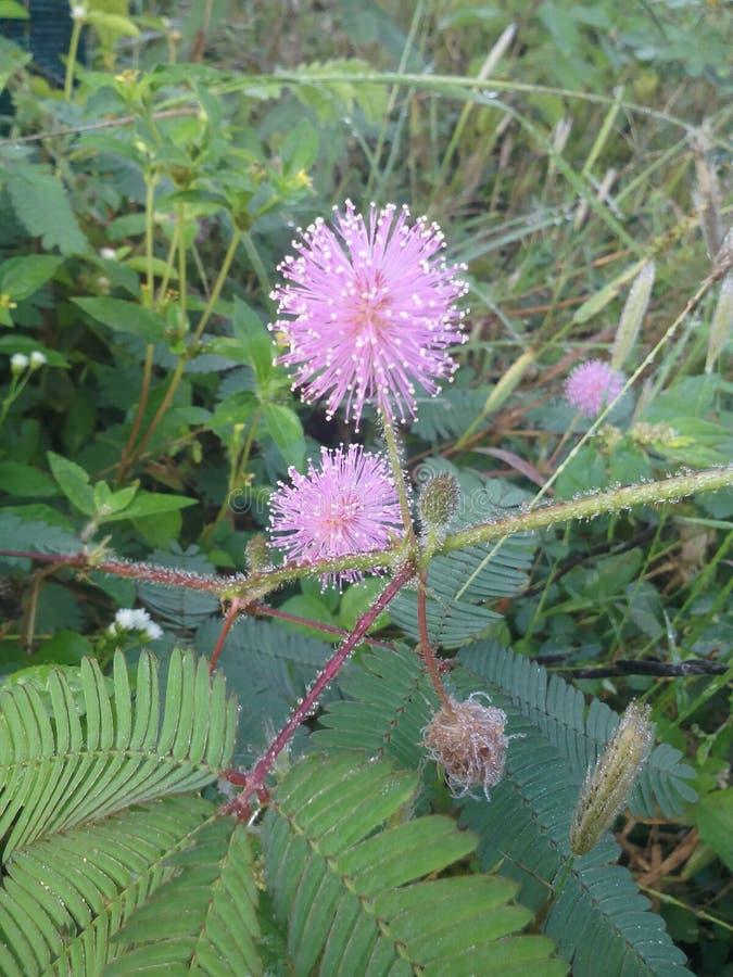 Mimosa Pudica royaltyfria bilder