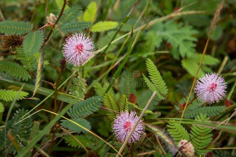 Mimosa pudica flower from Masinagudi, Mudumalai National Park, Tamil Nadu - Karnataka State border, India. Touch me not flowering. Plant stock photo
