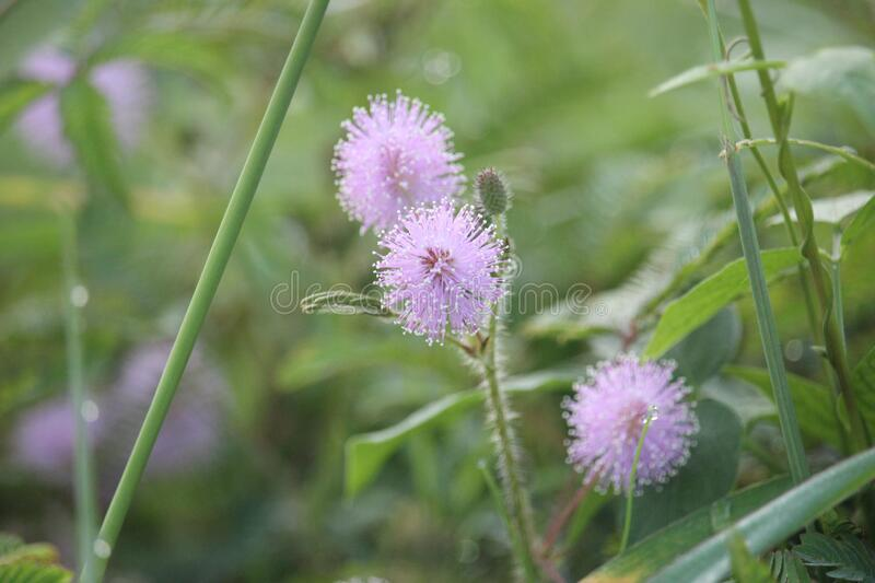 Mimosa pudica flowers that are blooming on the edge of a rural road royalty free stock photo