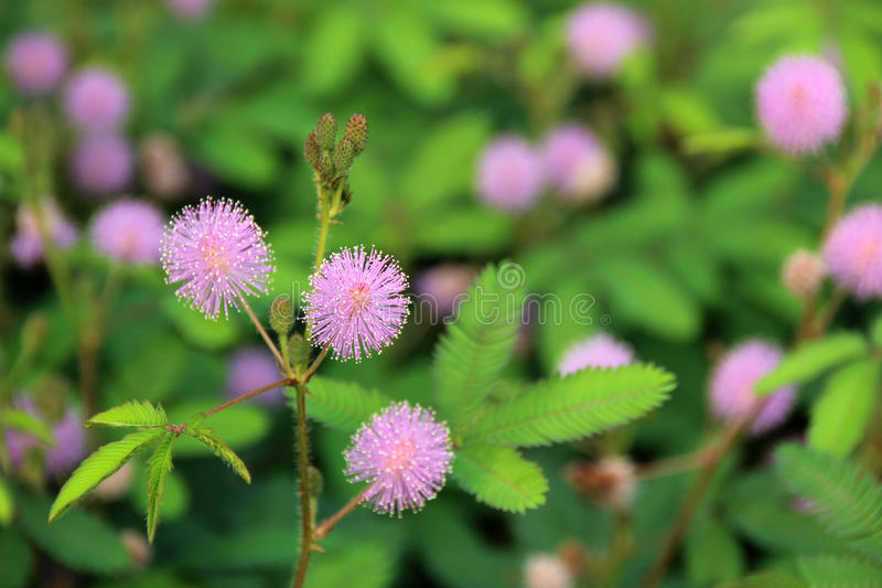Mimosa pudica stock images
