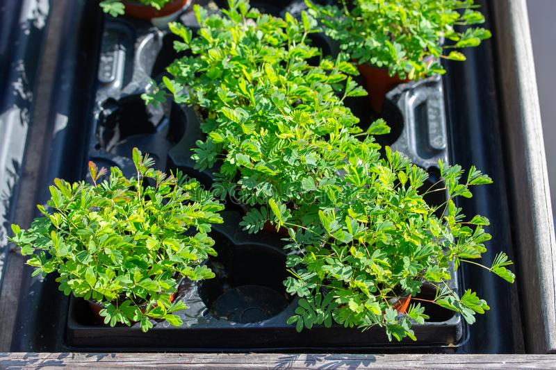 Mimosa pudica perennial herb from the genus Mimosa Legumes Fabaceae. Green leaves of garden mimosa. In pots top view stock photo