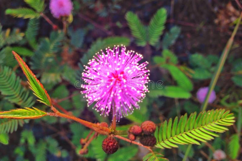 Mimosa Pudica royalty free stock photos