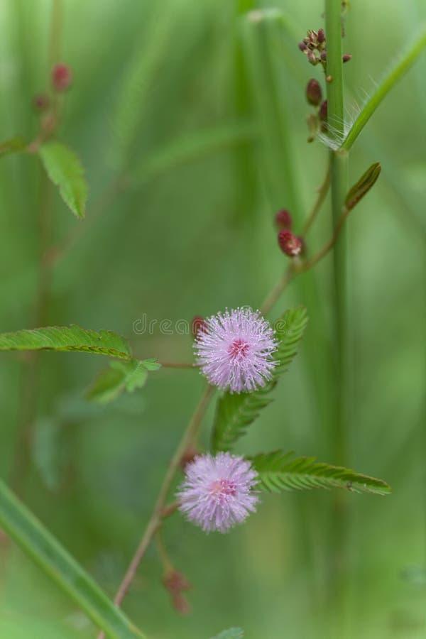Mimosa rosado Pudica imagen de archivo libre de regalías