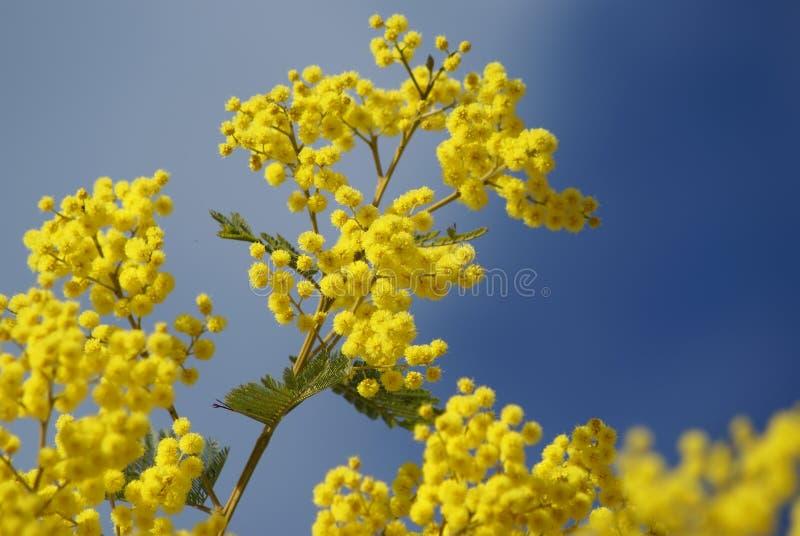 Mimosa's royalty-vrije stock afbeeldingen