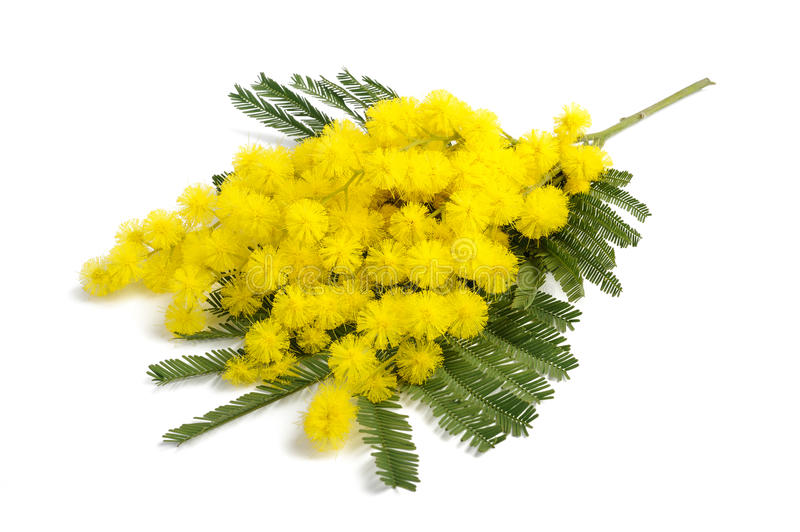 Mimosa. (silver wattle) branch isolated on white background stock image