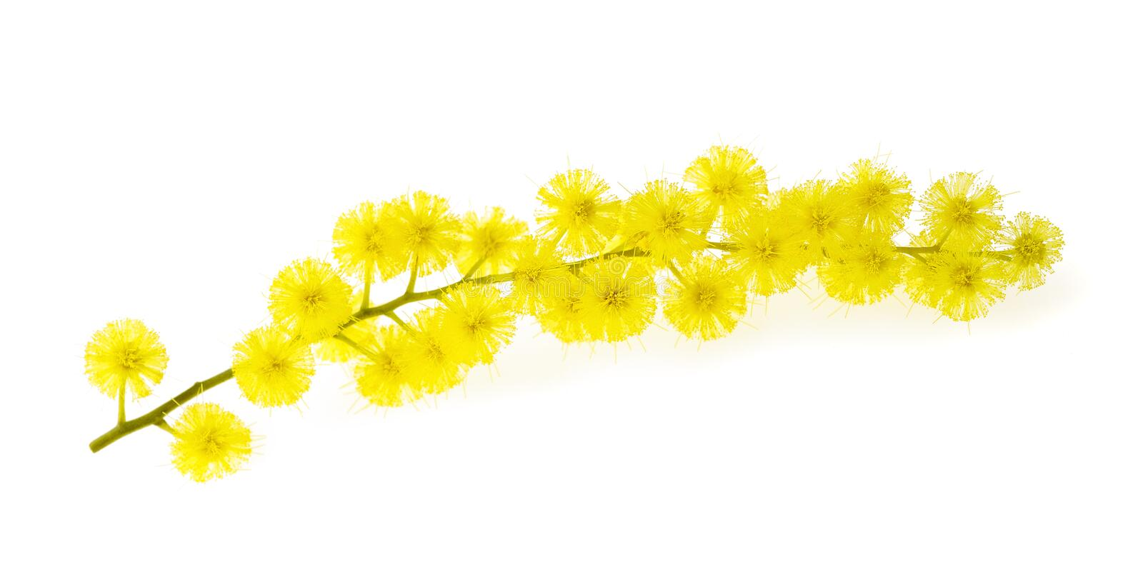 Mimosa. (silver wattle) branch isolated on white background stock images