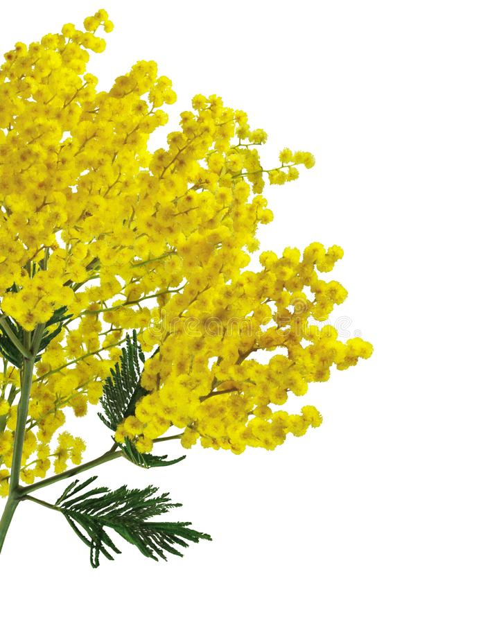 Mimosa silver wattle branch isolated on white background royalty free stock images