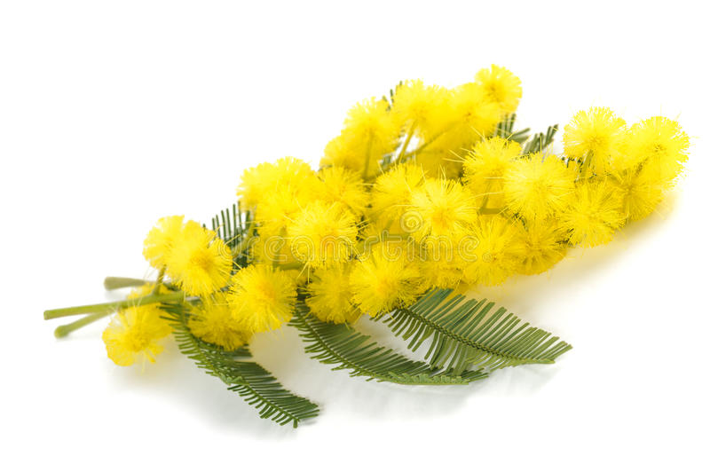 Mimosa silver wattle. Flowers isolated on white background royalty free stock photos