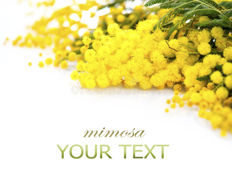 Mimosa spring flowers branch border royalty free stock photos