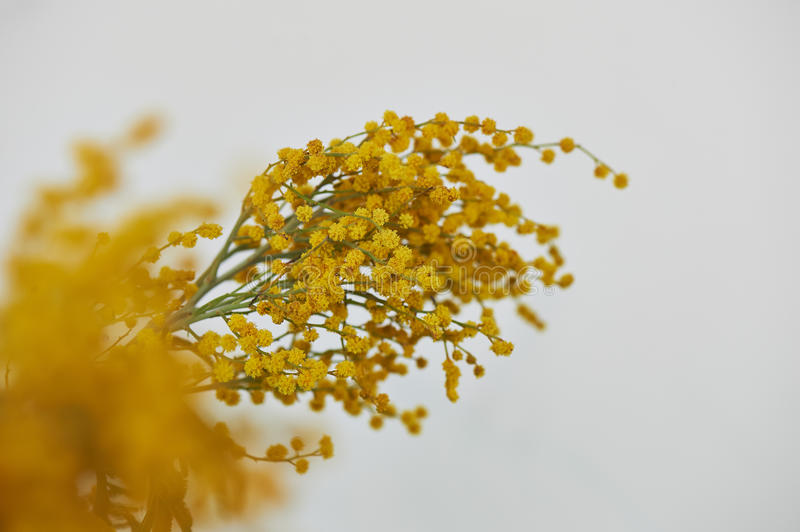 Mimosa, a symbol of women`s day and the awakening of nature after winter. On a white background royalty free stock photography