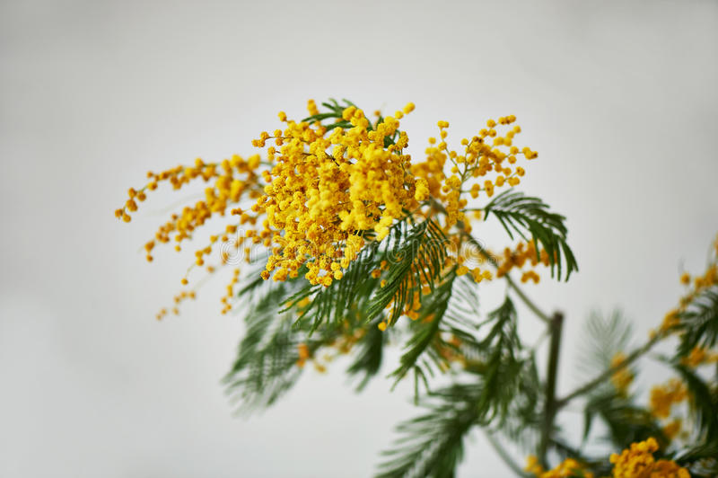 Mimosa, a symbol of women`s day and the awakening of nature after winter. On a white background royalty free stock images