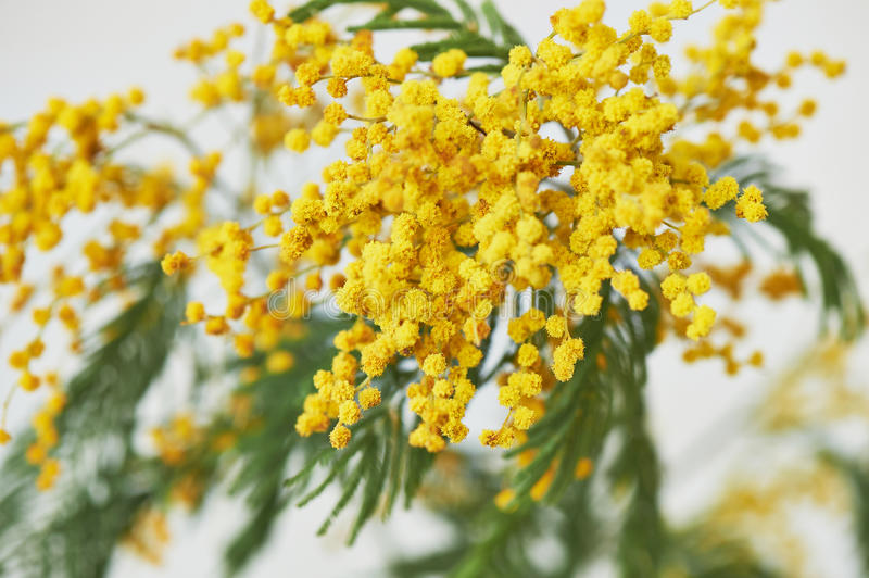 Mimosa, a symbol of women`s day and the awakening of nature after winter. On a white background stock photography