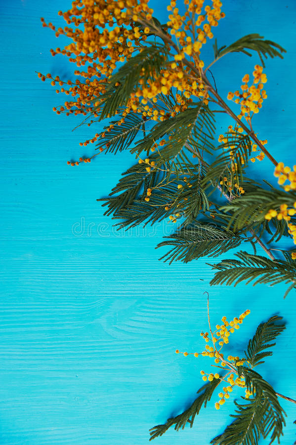 Mimosa, a symbol of women`s day and the awakening of spring. On turquoise background stock photo