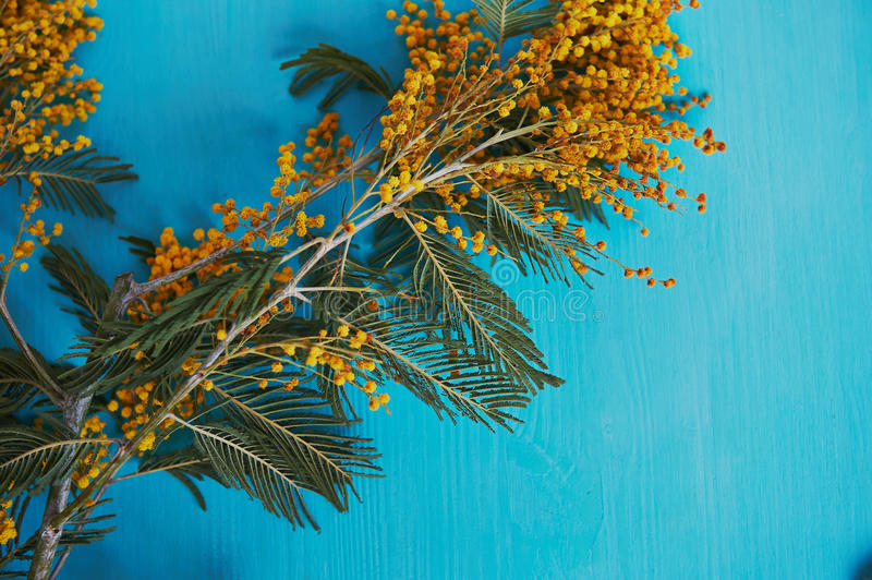 Mimosa, a symbol of women`s day and the awakening of spring. On turquoise background royalty free stock photos