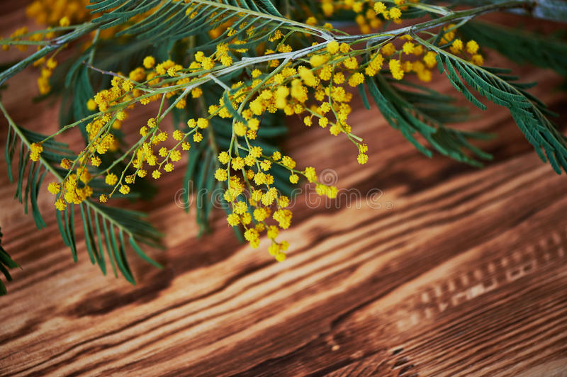 Mimosa, a symbol of women`s day on the background of brown wood . Background, Wallpaper stock image