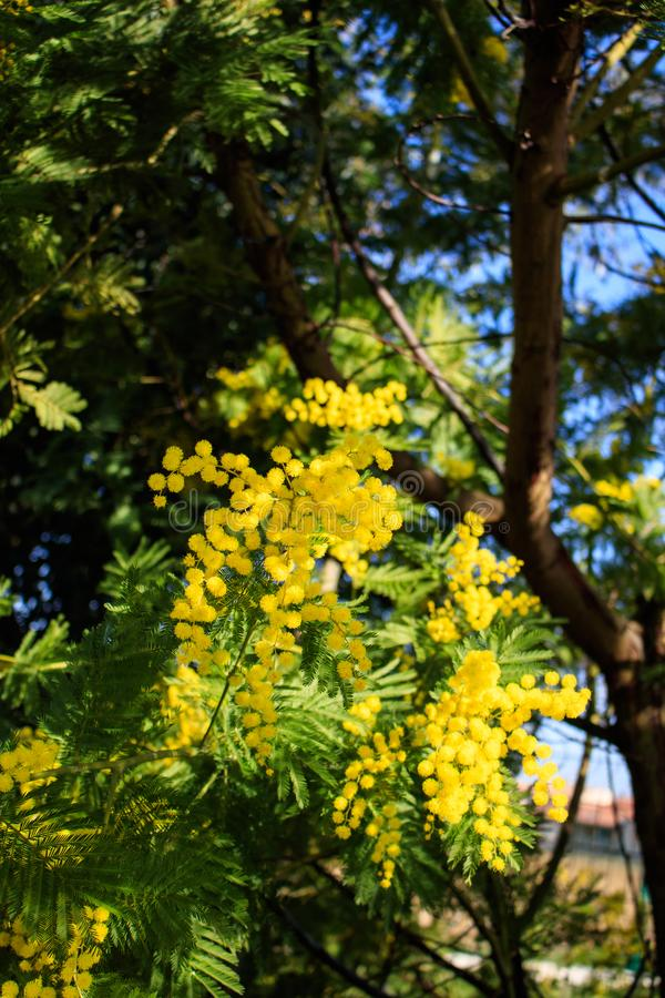 Mimosa Tree branches with yellow flowers and blue sky. South France holidays. Spring is coming. Early bloom royalty free stock photo