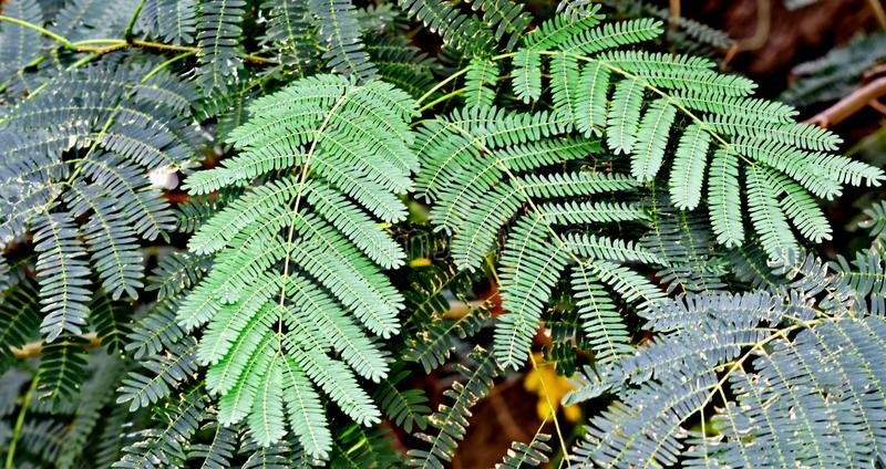 Mimosa Tree leaves. In an ornamental garden on an overcast day royalty free stock photo