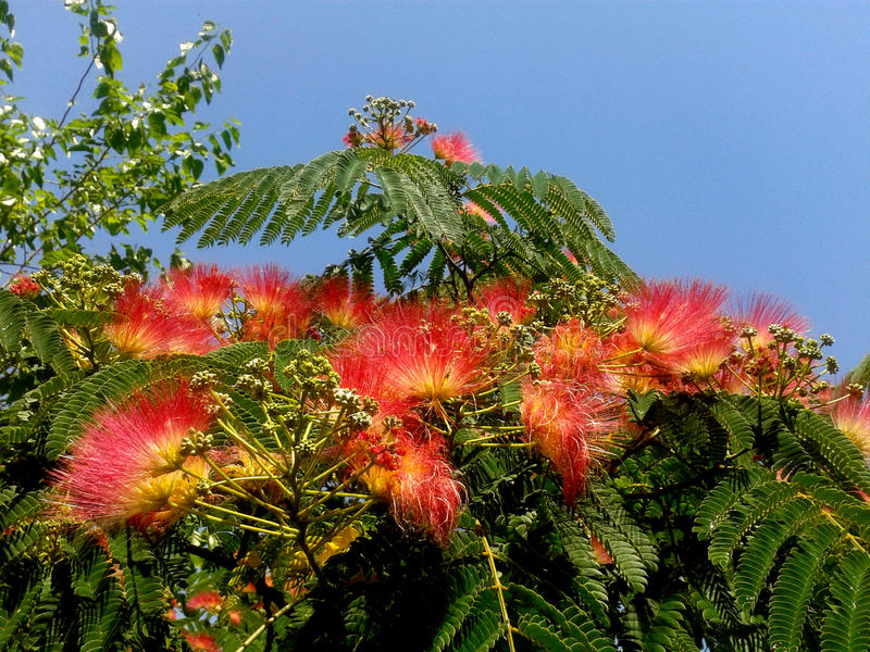 Mimosa Tree. A Mimosa tree looks like it is full of small pink, pom pom peacocks for flowers. With its fern like leaves, it appears to be a plant directly out of stock photos
