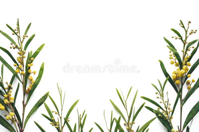 Mimosa On White Background. Arrangement with mimosa flowers on white background. Copy space. View from above. Flat lay stock photography