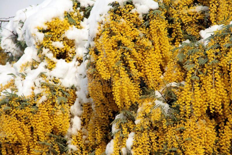 Mimosa y nieve imagen de archivo libre de regalías