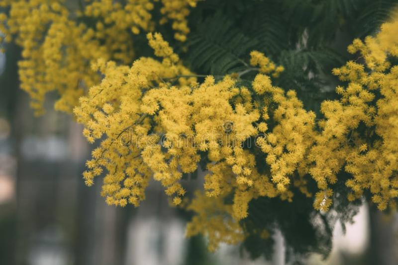Mimosa yellow flower in bloom. Springtime background. Mimosa yellow flower in bloom. Acacia Dealbata . Springtime background. Close up view of acacia yellow stock image