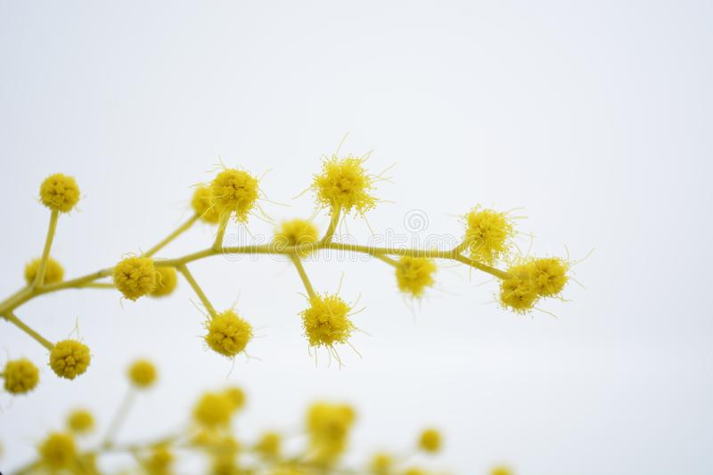 Mimosa yellow flower woman`s day festivity 8th march. Event people spring white background royalty free stock photos
