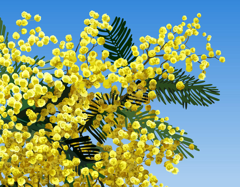 Mimosablomma royaltyfria bilder