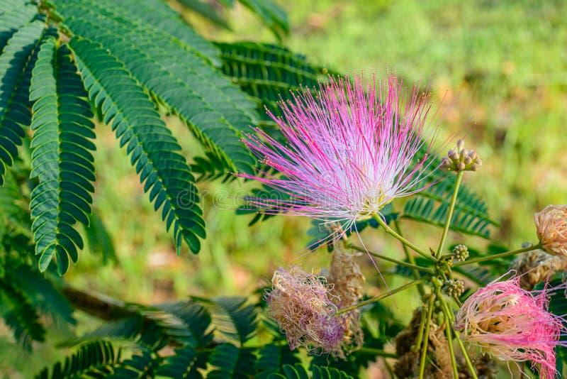 Mimosablomning royaltyfri foto