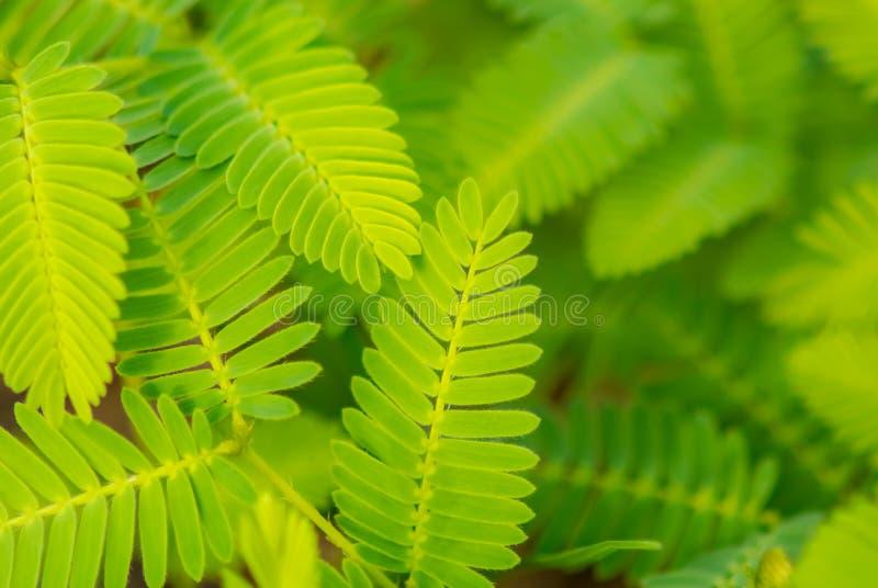 Mimosaboom royalty-vrije stock afbeelding